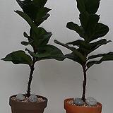 떡갈고무나무완성품(이태리토분)|