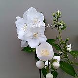 무늬고광나무(꽃대수형/1)-동일품배송