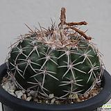 discocactus  latispinus