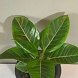 뱅갈 고무나무|Ficus elastica