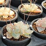 구갑룡 씨앗10립-Dioscorea elephantipes