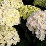 더블화이트 수국|Hydrangea macrophylla