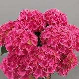 마이크로필라수국 / 레드 / 스탠다드수국  /  네덜란드 수입|Hydrangea macrophylla