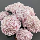 마이크로필라수국 / 핑크 / 스탠다드수국  /  네덜란드 수입|Hydrangea macrophylla