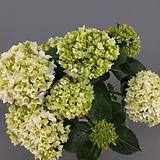 마이크로필라수국 / 화이트 / 스탠다드수국  /  네덜란드 수입|Hydrangea macrophylla