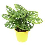 몬스테라 오블리쿠아 실내공기정화식물 거실화분 
