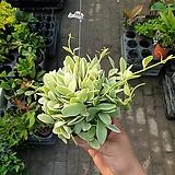 바이칼라마지나타공기정화식물 40~50cm