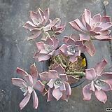 홍용월(한몸아닙니다~)0453|Graptopetalum Purple Haze
