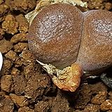 C ophthalmophyllum(옵탈모필름 )|