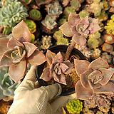 연봉금(부분.목대.자연)00 Graptopetalum bainesii f. variegata