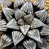 흑호(黒縞) 데케나히 자구 소묘(Haworthia Kuroshima Dechenahii, offset)|