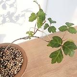 애기담쟁이 빈티지토분세트(작은잎이 너무 사랑스러운 미니종 묵은주)분갈이/마사 