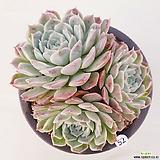 화이트턱시판52 Echeveria tuxpan