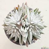 화이트그리니33 (자연군생) Dudleya White gnoma(White greenii / White sprite)