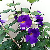 킹스맨틀(꽃대수형)