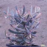 원종복랑금40두이상대품|Cotyledon orbiculata cv variegated