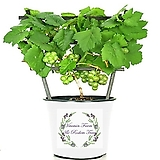 화분재배용 퍼플제이드 거봉포도 화분상품♥거봉 포도나무|