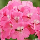 호라이즌玫瑰(Geranium)