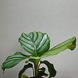 오르비폴리아小品공기정화식물进口식물15258550