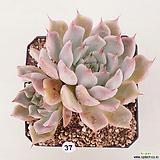 핑크자라고사37 Echeveria mexensis Zaragosa