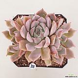핑크자라고사38 Echeveria mexensis Zaragosa