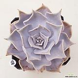 릴리시나68 Echeveria lilacina