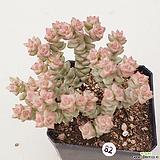 희성금82 Crassula Rupestris variegata