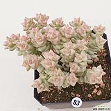 희성금83 Crassula Rupestris variegata