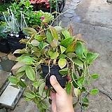 Hoya carnosa룩타오록타오进口Hoya carnosa60~70cm