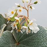 Begonia墨西哥Begonia