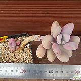 아메치스 0606 Graptopetalum amethystinum