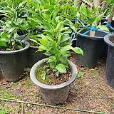 한라봉 열매가 주렁주렁 열려있어요 과실수 40~70cm|