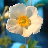흰꽃추명국-대품(15센티포트) 