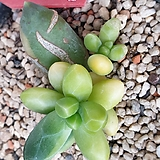 천대전송금|Pachyphytum compactum