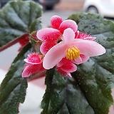 지니베고니아(화분포함)|Begonia