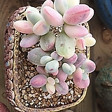 방울복랑금|Cotyledon orbiculata cv variegated