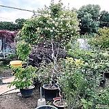 인동나무(회오리 토피어리수형)-딱하나|