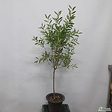 토피어리~ 병솔나무(외목)|