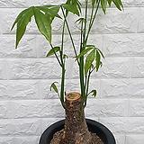 ♥파키라 ♥공기정화식물|