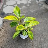 뱅갈고무나무중품초특가30~40cm|Ficus elastica