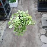 뉴디시디아그린소품수입식물45~60cm|