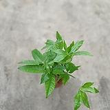 파키라삼식이공기정화식물22~30cm|