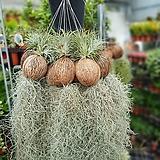 코코넛이오난사수염틸란드시아수입식물50~70cm|Tillandsia