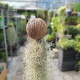 코코넛수염틸란드시아수입식물50~70cm|Tillandsia