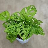 몬스테라오블리쿠아수입식물25~35cm|