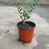 올리브나무소품15~25cm|