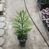 아라우카리아관엽식물70~90cm|