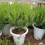 로즈마리허브(공기정화식물)특대 풍성함|Rosemary