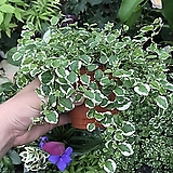 푸미라(공기정화식물)|Echeveria pumila