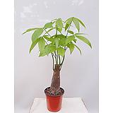 파키라(포트) 실내화초 실내관엽식물 키우기좋은식물|